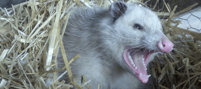 Do-Possums-Carry-Rabies-min