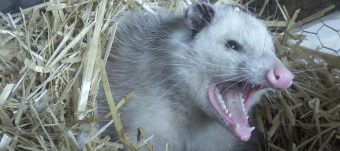 Do-Possums-Carry-Rabies-min